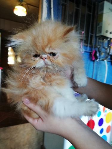 gatitos persa extremos