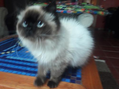 gatitos persa himalaya