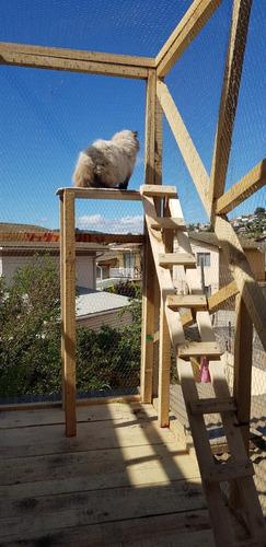 gatitos persa himalayas