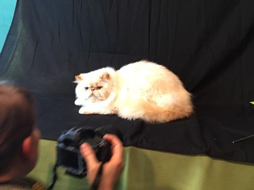 gatitos persa himalayos