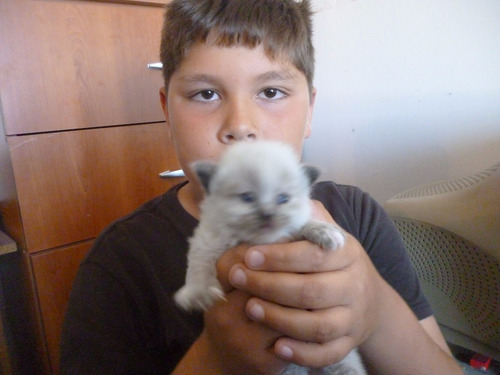 gatitos persas himalayos