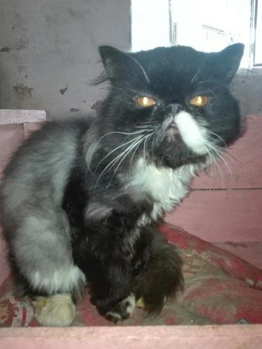 gatitos persas machos para reservar