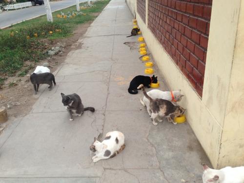 gatitos y peritos en adopcion