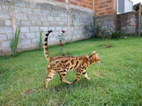 gato bengal. filhotes, mini onça doméstica.