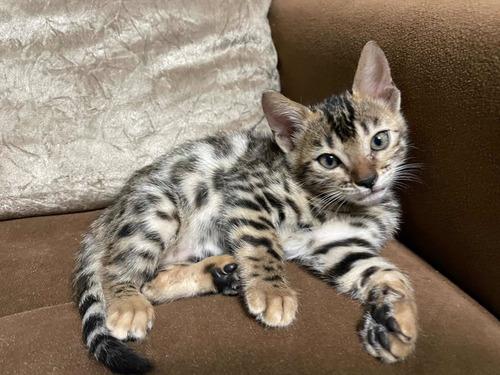 gato bengal fêmea marble e spoted