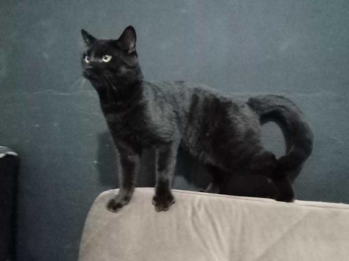 gato bengal melanisco