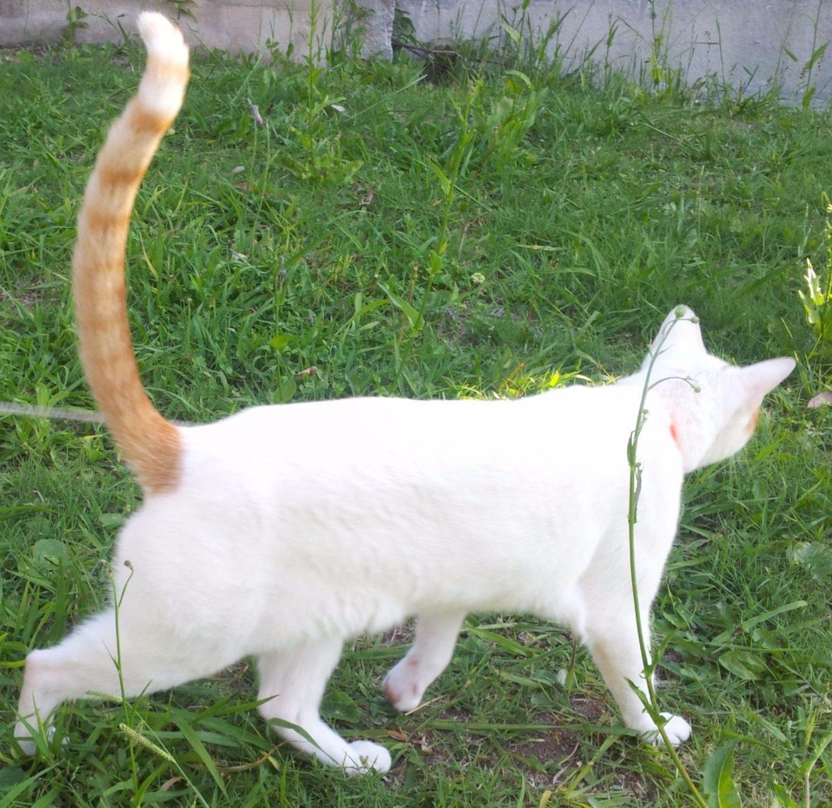 Gato Castrado Adopción Responsable. Zona La Plata. Regalo - $ 1,00 ...