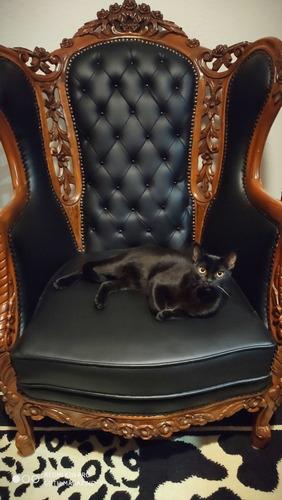 gato macho raza bombay para monta
