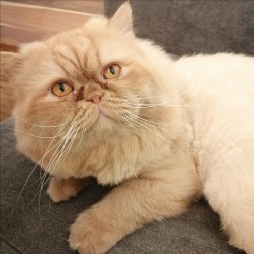 gato persa busca novia