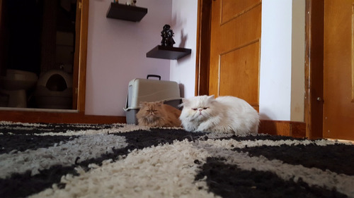 gato persa extremo para monta. fenotipo garfield.