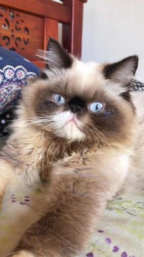 gato persa himalayo disponible para monta
