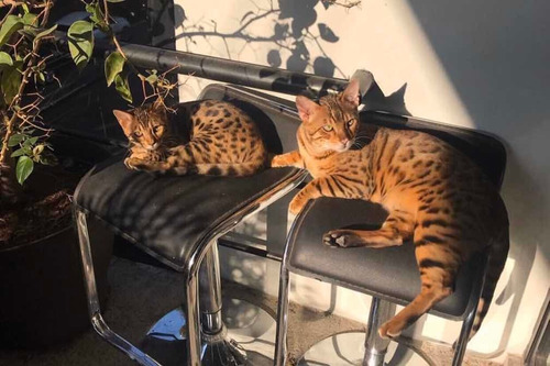 gatos bengali hermosos