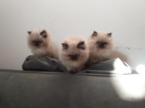 gatos persa himalayas