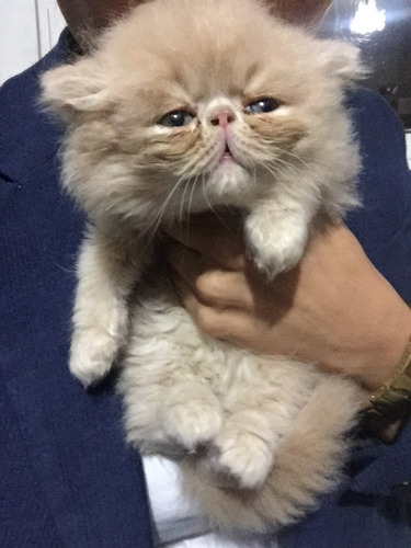 gatos persa súper extremos