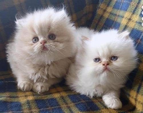 gatos persas puros