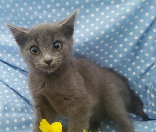 gatos ruso azul importados