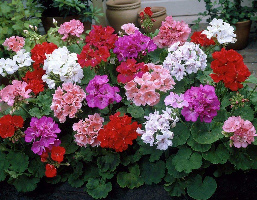geranio geranium sortido sementes flor perfumada para mudas r 12 99 em mercado livre. Black Bedroom Furniture Sets. Home Design Ideas