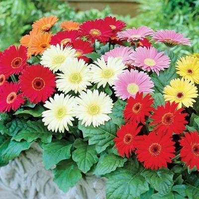 gerbera importada sortida sementes flor p mudas r 20 00 em