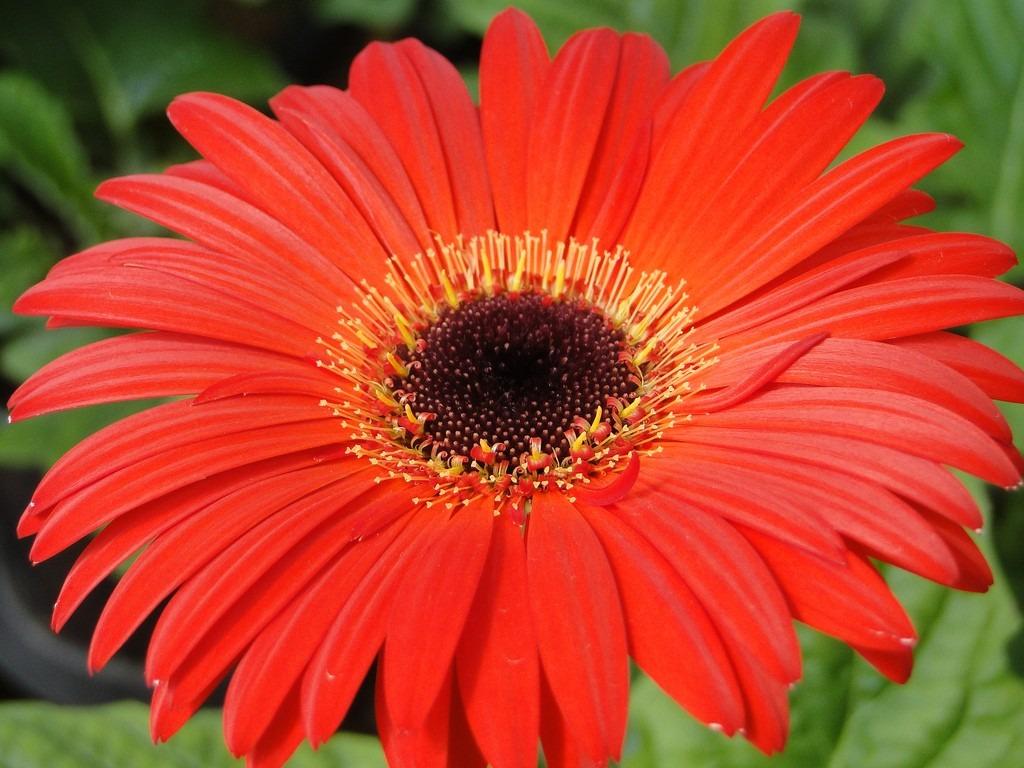 gerbera roja sin flor 45 00 en mercado libre