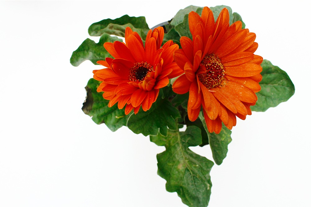 Gerberas Plantas Exteriores Con Flores S 2500 En Mercado Libre - Plantas-de-exteriores-con-flores
