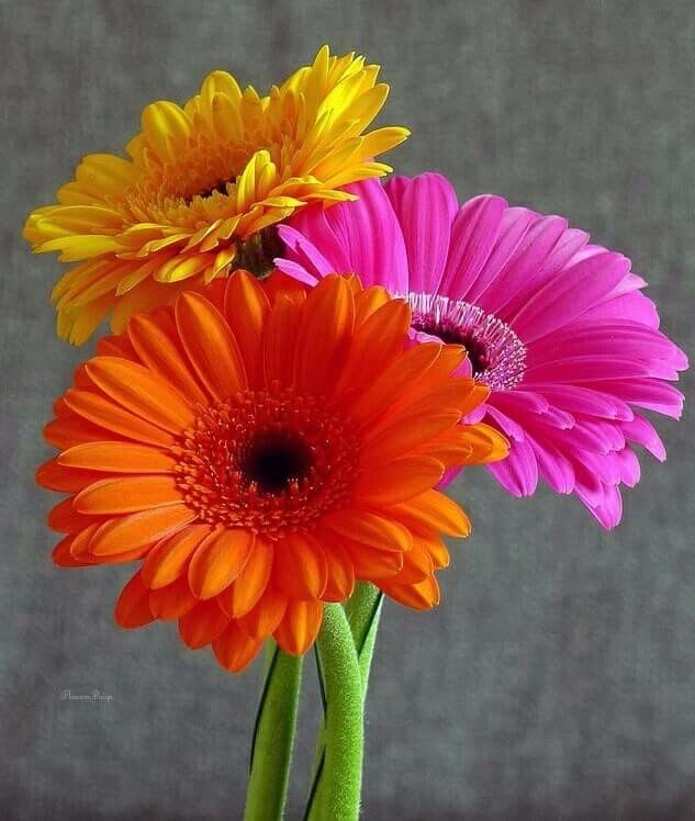 gerberas plantas exteriores con flores s 25 00 en mercado libre