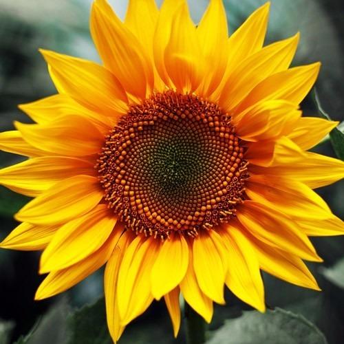 Girassol Amarelo Para Plantar E Criar Mudas 10 Sementes