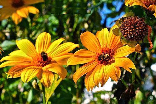 girassol mexicano - de árvore - margaridão - flor  sementes