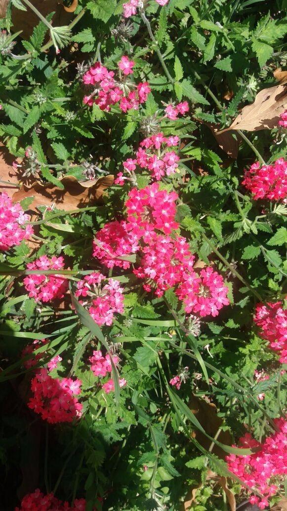 Glandularia Peruviana Rastrera Plantas Nativas Vivero - $ 50,00 en ...
