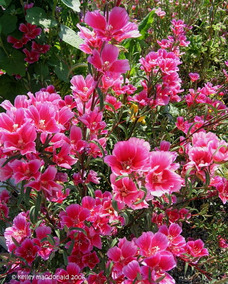 3e2a13519a Mini Azaleia Muda Lindissima - Jardinagem no Mercado Livre Brasil