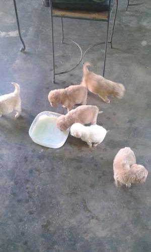 golden restriever cachorros