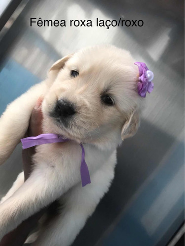 golden retriever com pedigree