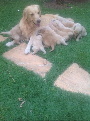 golden retriever filhotes