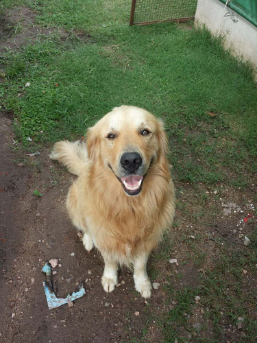 golden retriever para servicio