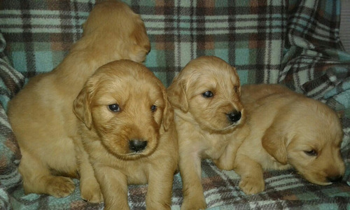 golden retriever raza