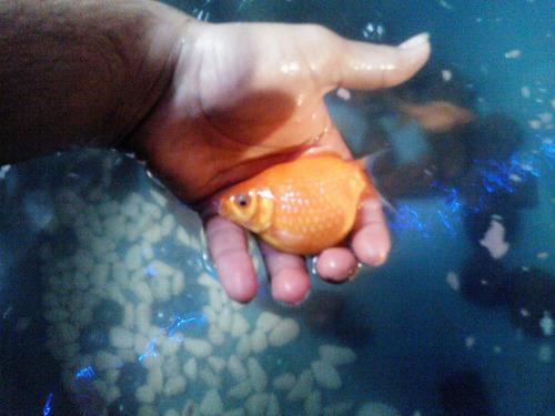 golfish 3 escama de perlas y 2 orandas