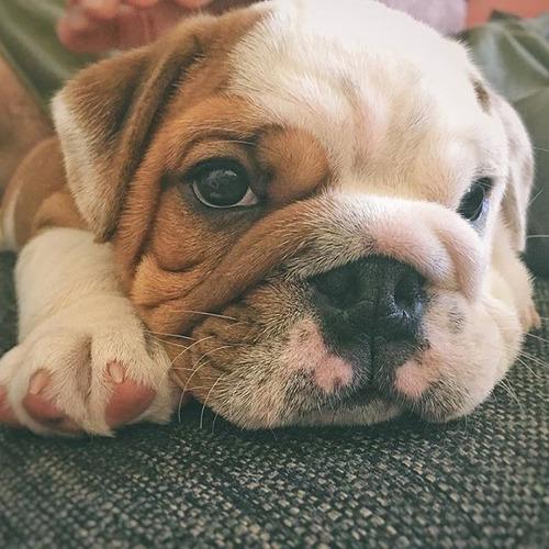 gordos  bulldog ingles  cali medellin bogota barranquilla