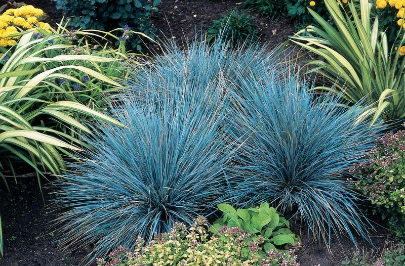 Grama azul festuca glauca blue sementes flor pra mudas r for Plante grasse exterieur vivace