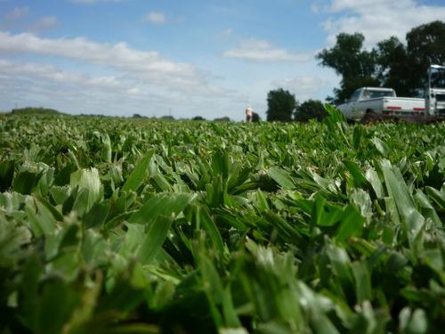grama bahiana en panes colocado