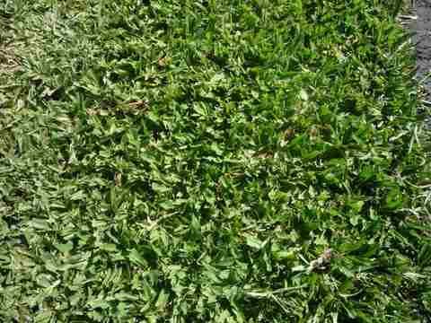 grama bahiana en panes envio (consultar por zona)