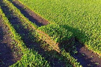 grama bahiana , venta y colocacion