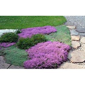 Grama Roxa Aromática Thymus 50 Sementes Flor Erva Para Mudas