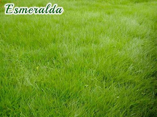 grama san gustin, esmeralda y japonesa