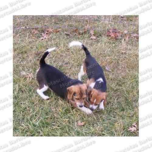gran oferta cachorros beagle cazadores unicos c registro fcm