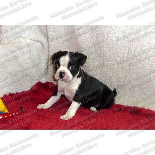 gran oferta cachorros boston terrier genuinos registro fcm