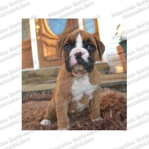 gran oferta cachorros boxer genuinos chatos c/ registro fcm