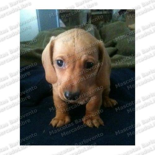 gran oferta cachorros dachshund salchichas unicos aptos fcm