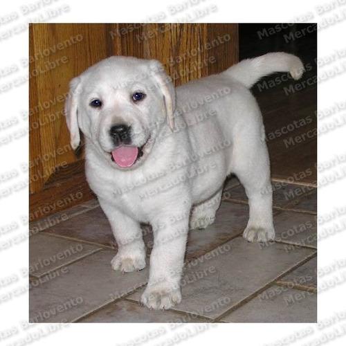 gran oferta cachorros labrador puppy dorados registro fcm