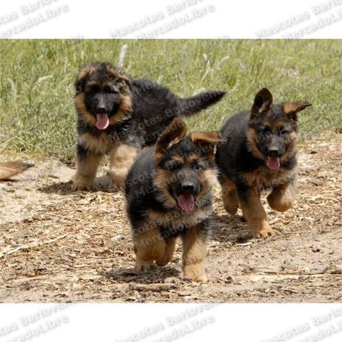 gran oferta cachorros pastor aleman genuinos registros fcm