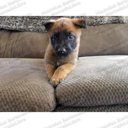 gran oferta cachorros pastor belga malinois p/ seguridad fcm