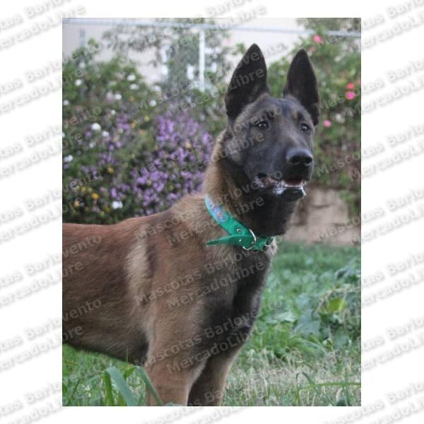 Fotos cachorro pastor belga malinois 45